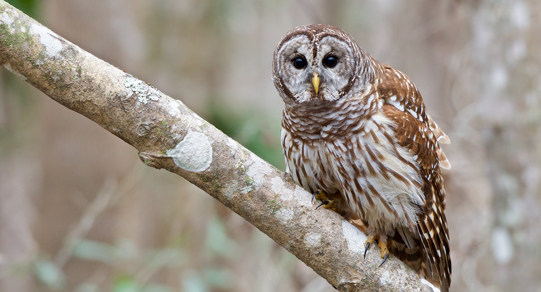 Barred owl sitting on tree limb