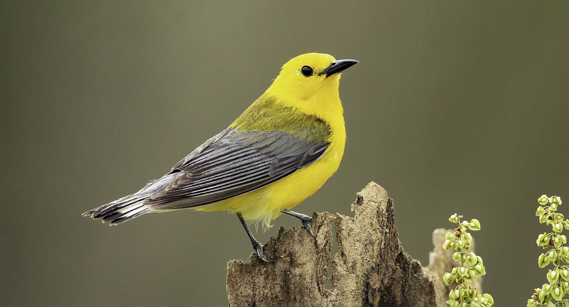 Prothonotary warbler on tree stump