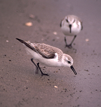 Two Sanderlings on beach walking